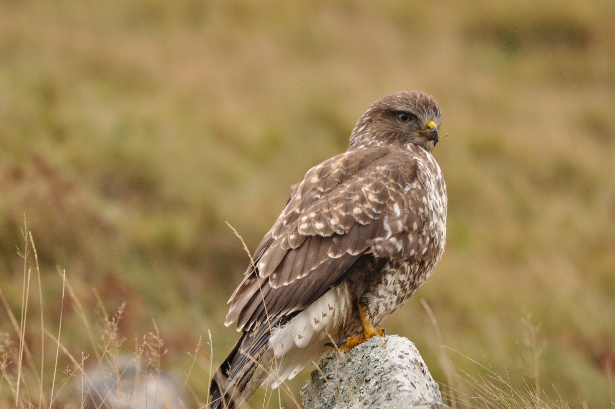 Species Focus – Common Buzzard (Buteo buteo)
