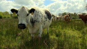 Moiled Cattle